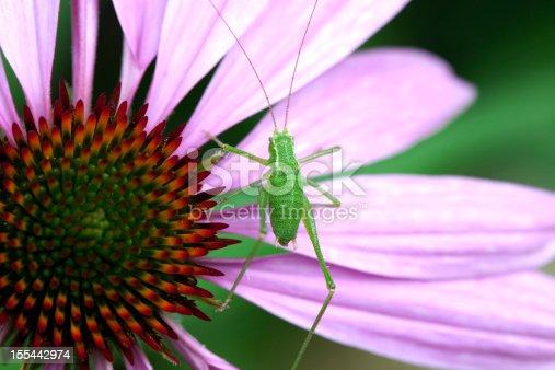 a  closeup of a grasshopper on a purple Echinacea flower
