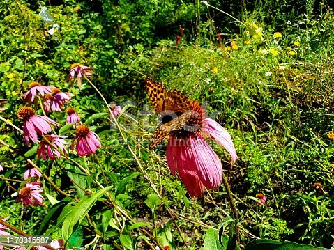 Echinacea flower with a butterfly on it. The image was captured during summer season.