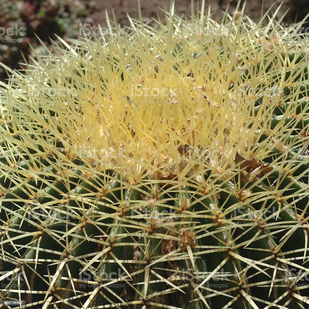 echinocactus grusonii royalty-free stock photo