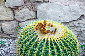 Echinocactus grusonii, popularly known as the golden barrel cactus, golden ball or mother-in-law's cushion is endemic to east-central Mexico. Large cacti growing in open ground in the yard.