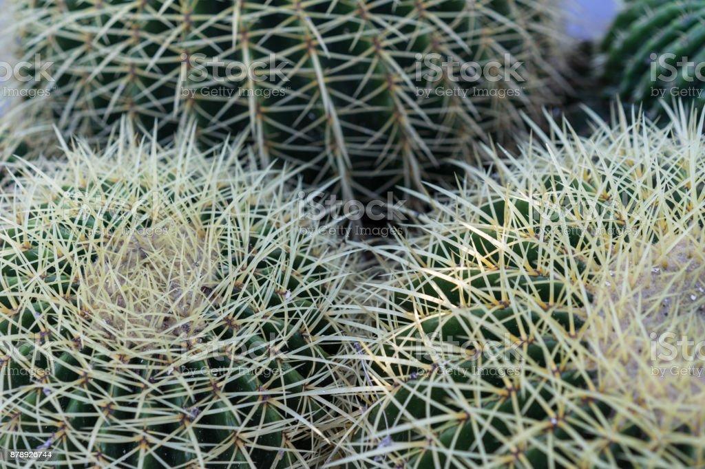 Echinocactus grusonii suculenta cerrar patrón de textura de fondo - foto de stock