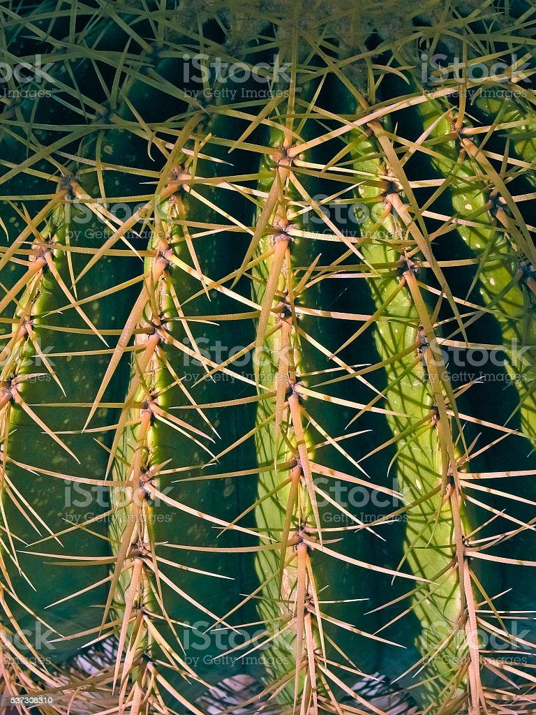 Echinocereus amoenus cactus stock photo