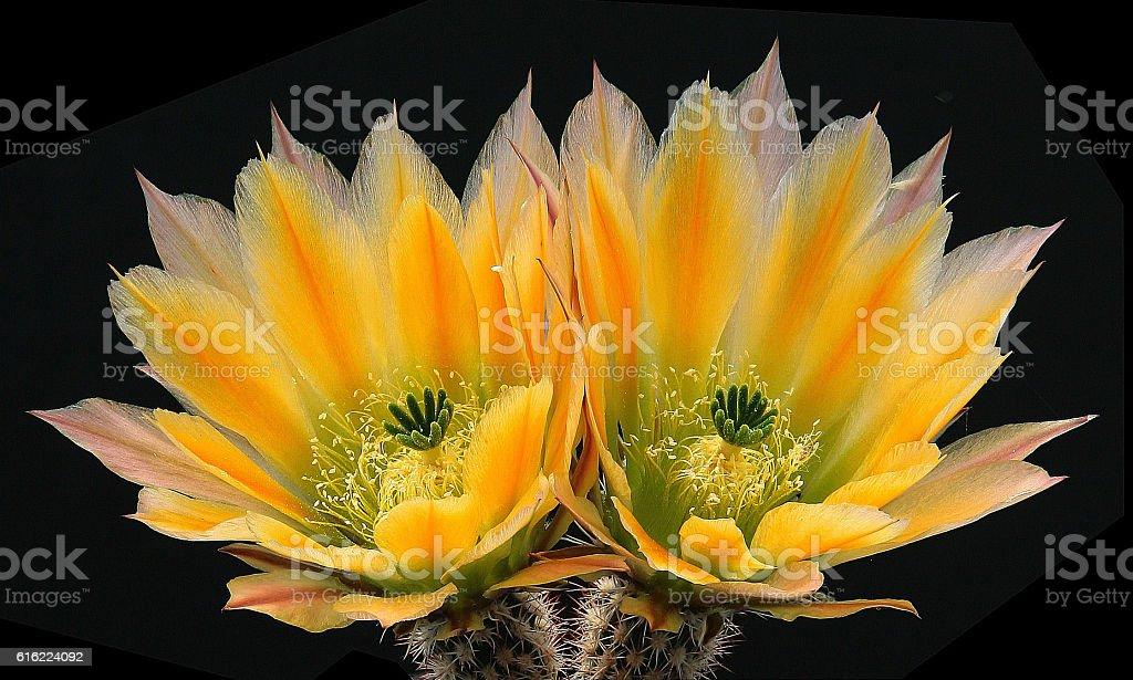 Echinocereus ctenoides stock photo