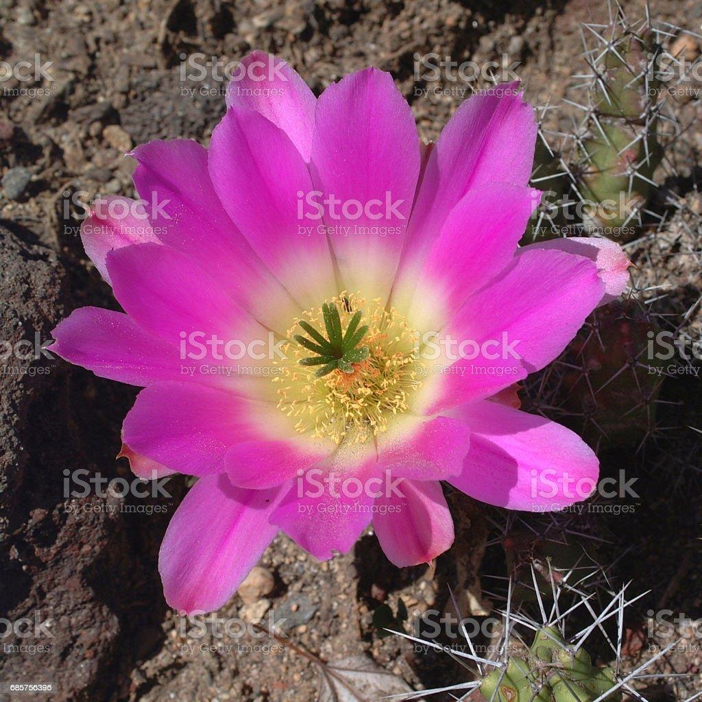 echinocereus enneacanthus stock photo