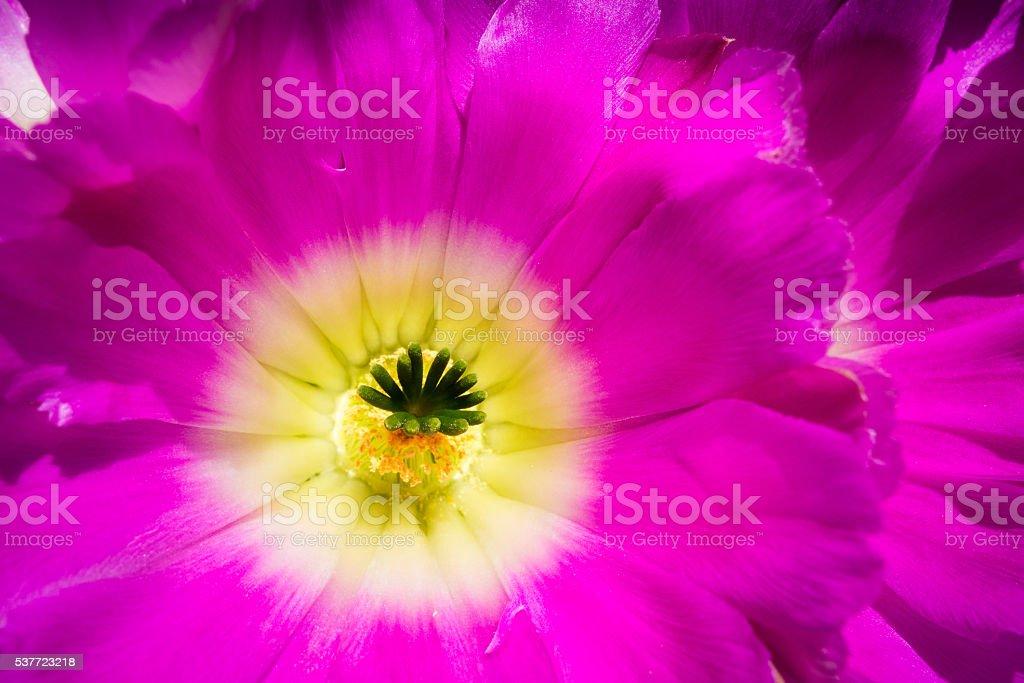 Echinocereus pentalophus flower stock photo