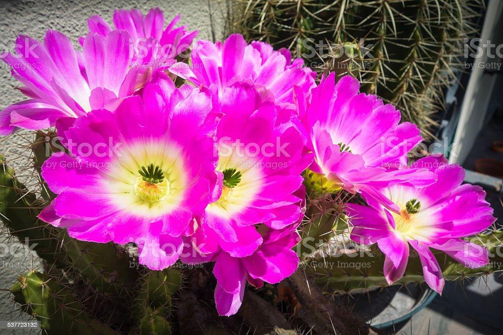 Echinocereus pentalophus flowers stock photo