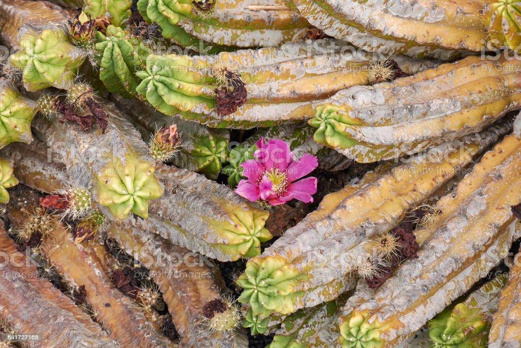 Echinocereus pentalophus stock photo