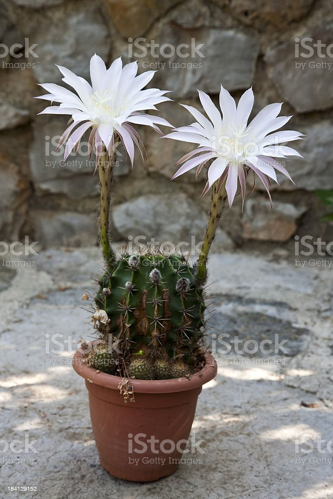 Echinocereus royalty-free stock photo