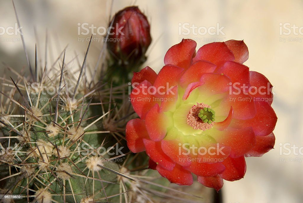 Echinocereus plant and flower royalty-free stock photo