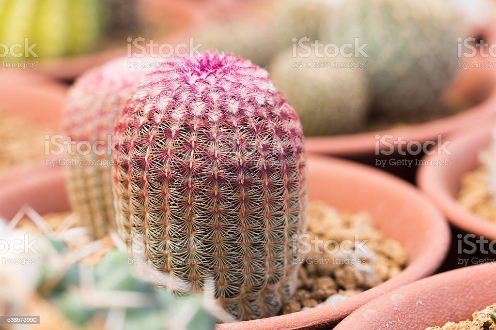 Echinocereus rigidissimus Cactus stock photo
