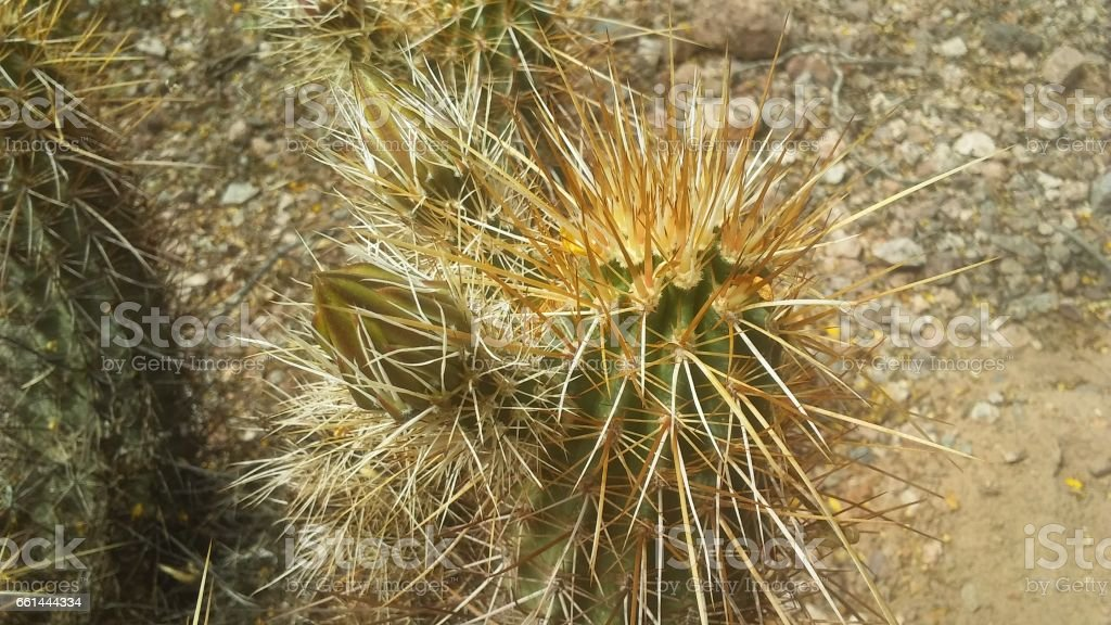 Echinocereus Triglochidiatus Cactus (Hedgehog Cactus) Blossoming with Pink Flowers in Desert in Phoenix, Arizona. stock photo