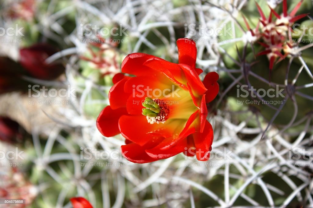 Echinocereus triglochidiatus red blooming in Joshua Tree National Park, USA stock photo