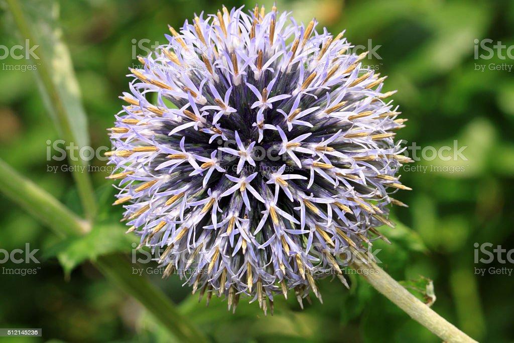 Echinops bannaticus flower stock photo