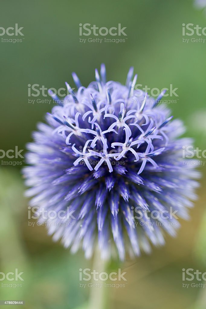 Echinops ritro 'Veitch's Blue' stock photo