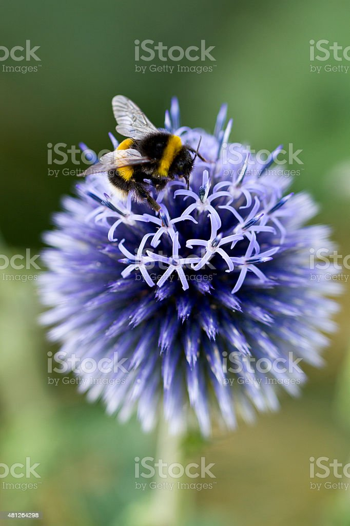 Echinops 'Vetch Blue' with Bumble Bee stock photo