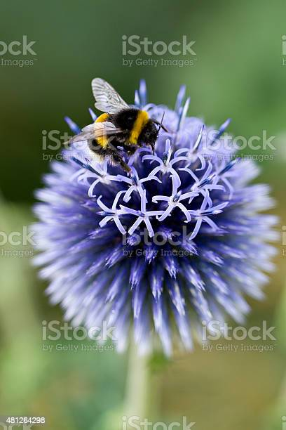 Photo of Echinops 'Vetch Blue' with Bumble Bee