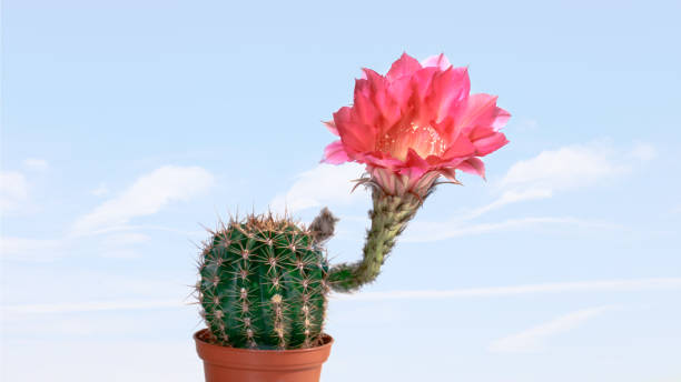 Echinopsis blossomed in orange balsam, blue sky in background stock photo