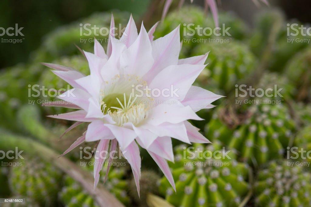 Echinopsis Flower stock photo