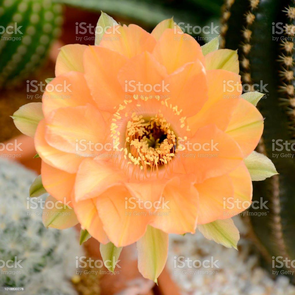 Echinopsis hybrid Orange Paramount. stock photo