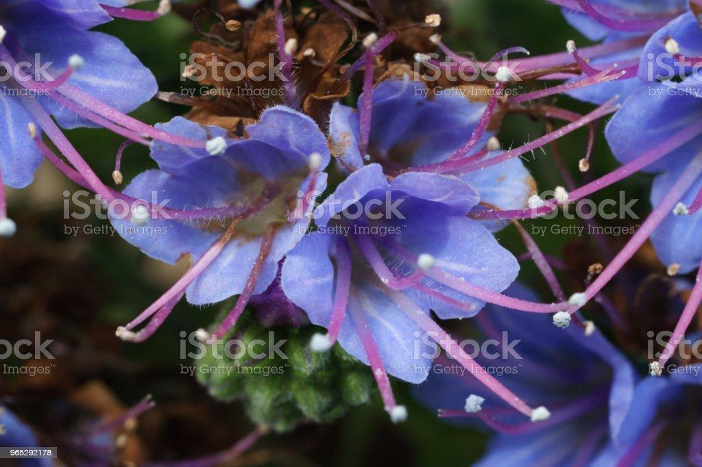 echium webbii plant zbiór zdjęć royalty-free
