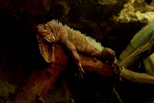 echse - cage animal nuit photos et images de collection
