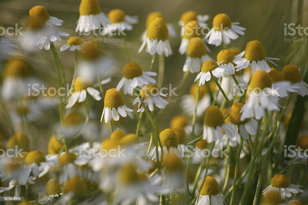Echte Kamille (Matricaria recutita) royalty-free stock photo
