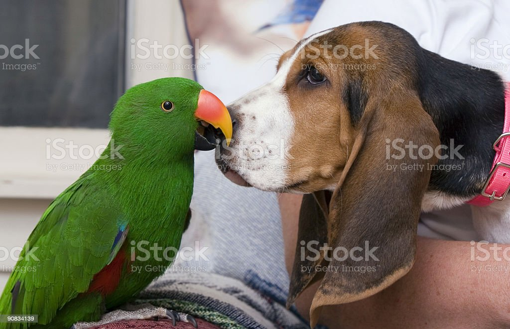 Eclectus parrot and Bassett Hound stock photo