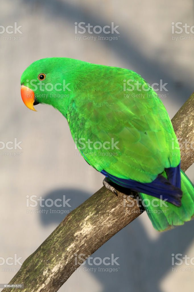 Eclectus parrot on a branch stock photo