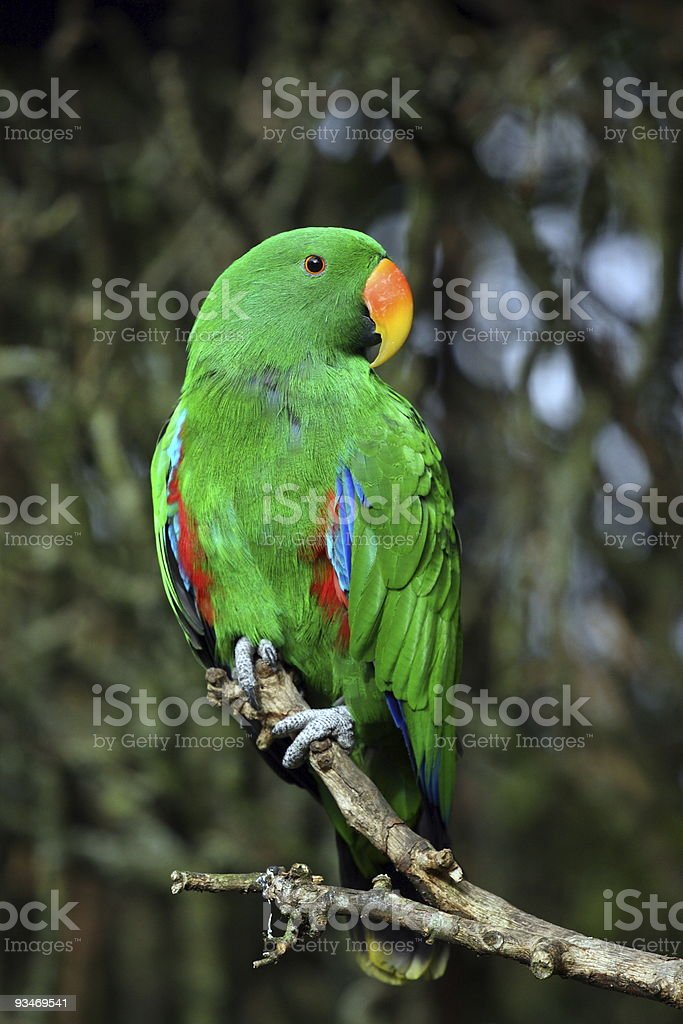 eclectus parrot royalty-free stock photo