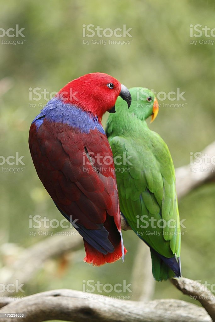 Eclectus Parrots royalty-free stock photo