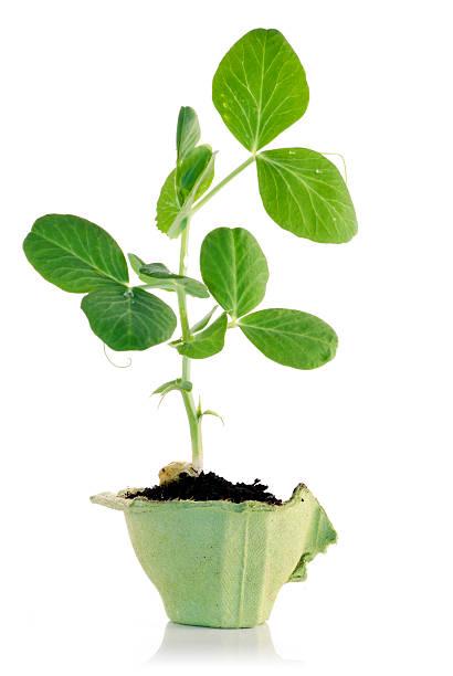 eco gardening snow peas - pea sprouts bildbanksfoton och bilder