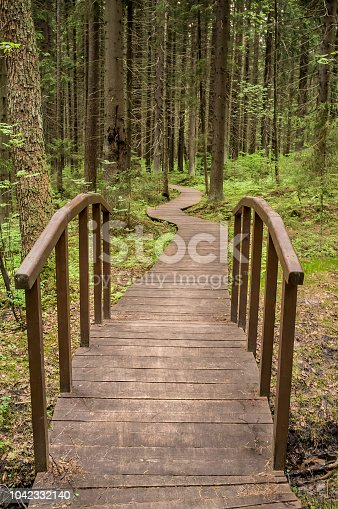 Ecological path of wooden boards to a small bridge goes through the spruce forest, a warm summer day.