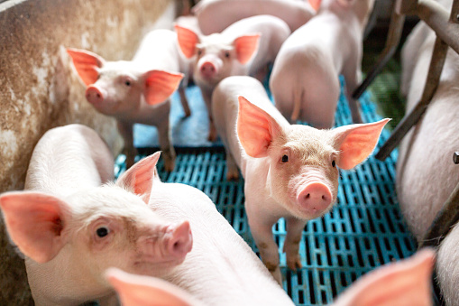 istock Ecological pigs and piglets at the domestic farm 1141440356