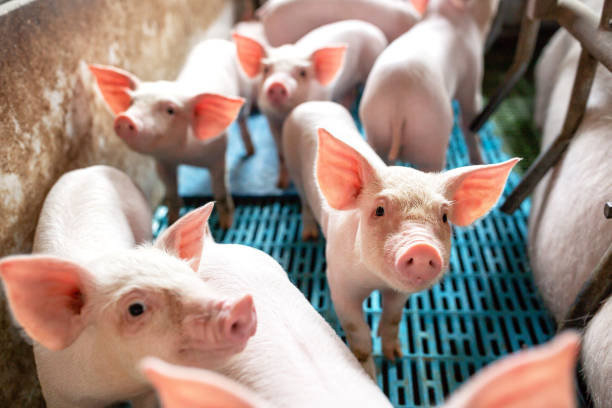 Ecological pigs and piglets at the domestic farm stock photo