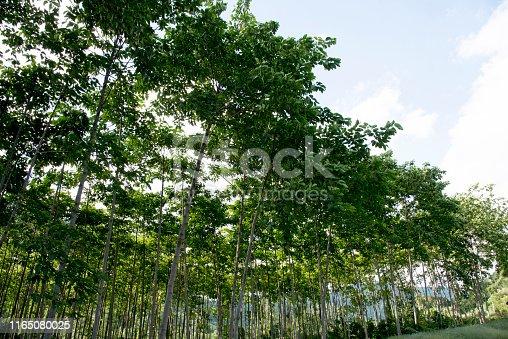 istock Economic tree planting for sale 1165080025