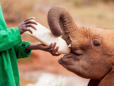 Ecotourism With Elephants Stock Photo - Download Image Now