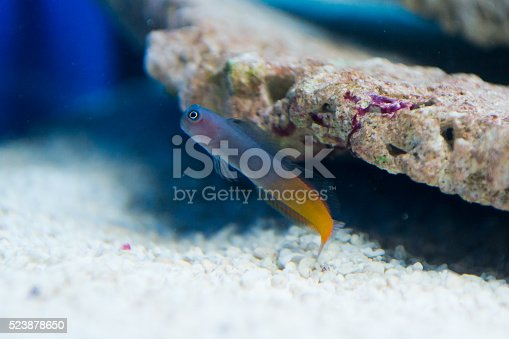 istock Ecsenius bicolor - Flame tail blenny 523878650