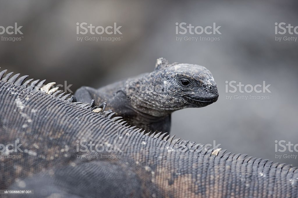 Ecuador, Galapagos Islands, Santa Cruz Island, Puerto Ayora, two Marine Iguanas (Amblyrhynchus cristatus) on lava rocks royalty free stockfoto