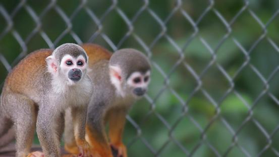 Ecuadorian squirrel monkey. Common names: Warisa, Barizo, Mono ardilla ecuatoriano. Scientific name: Saimiri cassiquiarensis