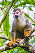 Stock photograph of an Ecuadorian squirrel monkey sitting on a tree branch