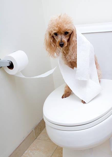 Resultado de imagen para poodle owner toilet