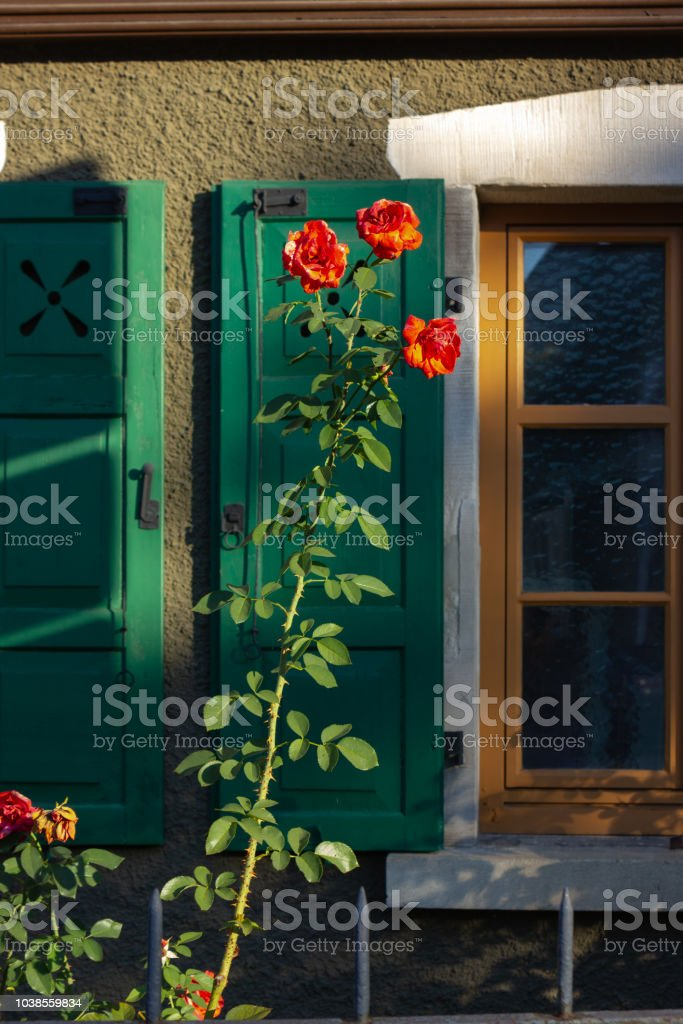 ed roses on framework facade with window green shutters foto stock royalty-free