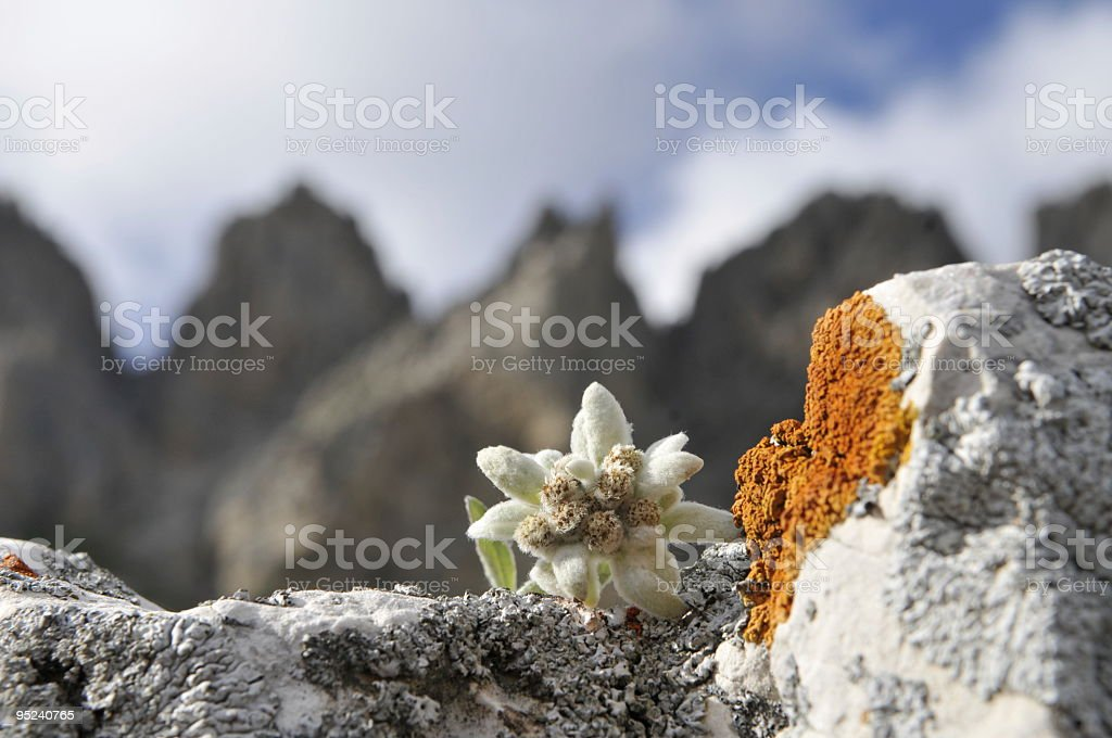 Edelweiß in the dolomites italy mountains stock photo