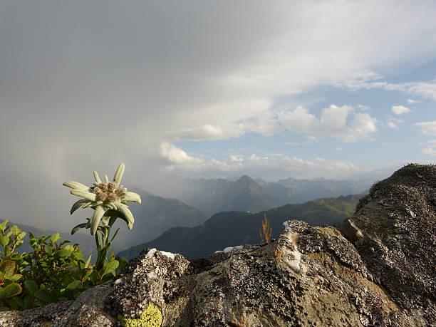 Edelweiss und Gewitter in den Alpen – Foto