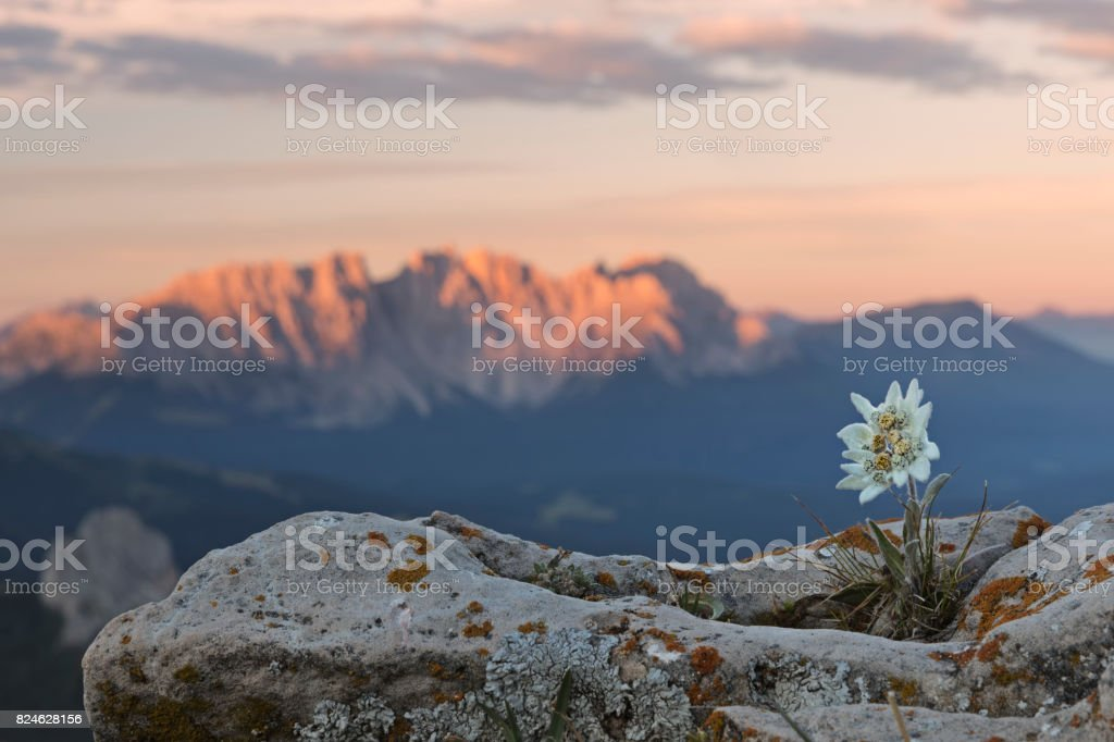 Edelweiss at sunrise with Dolomites in background stock photo