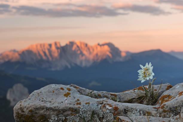 edelweiss bei sonnenaufgang mit dolomiten im hintergrund - seltene pflanzen stock-fotos und bilder
