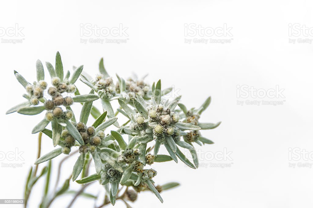 edelweiss flower bouquet stock photo