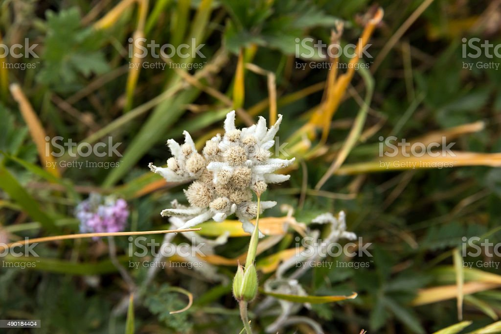 Edelweiss Flower Close Up Image from Top stock photo