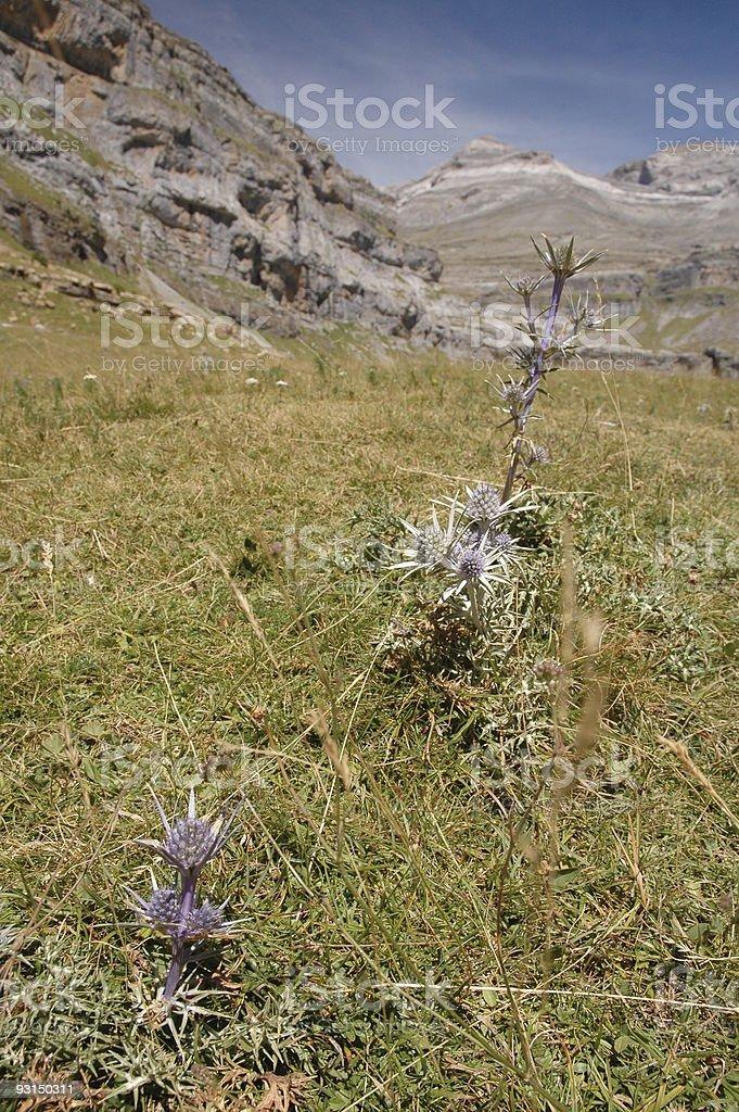 Edelweiss flower in mountain stock photo