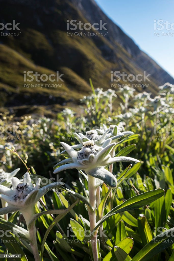 edelweiss flower in the alps stock photo